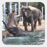 Elefante asiático calcomanias cuadradas