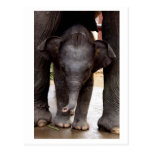 Elefante asiático del bebé postal