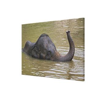Elefante asiático que se baña, elefante tailandés impresion en lona