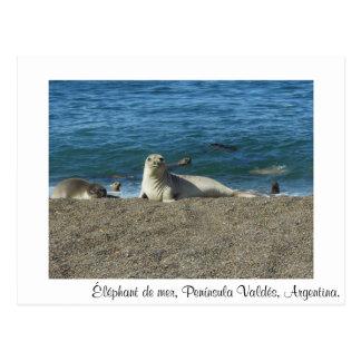 Elefante de mar tarjeta postal