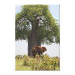 Elefante debajo del acacia impresión en lona estirada