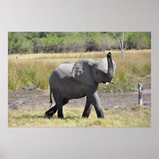 Elefante del bebé posters