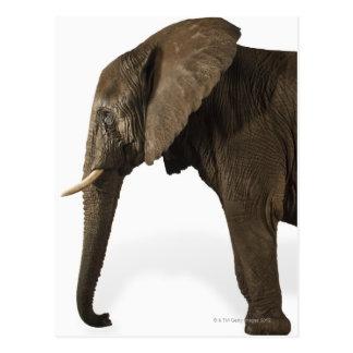 Elefante en el fondo blanco, vista lateral postales