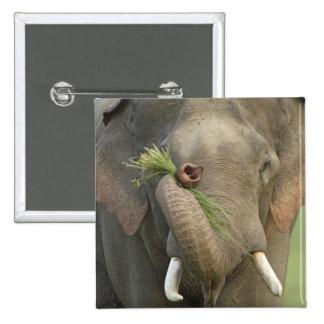 Elefante indio asiático que exhibe la comida Corb Pin