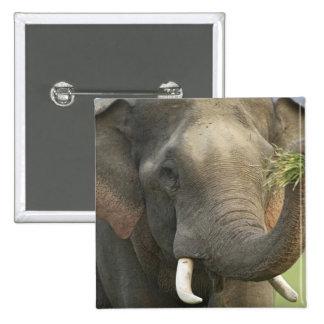 Elefante indio asiático que exhibe la comida Corb Pins