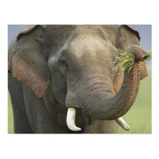 Elefante indio/asiático que exhibe la comida, postal
