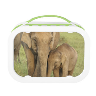 Elefante indio/asiático y jóvenes uno, Corbett