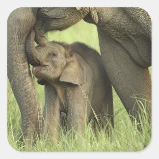 Elefante indio/asiático y jóvenes uno, Corbett 2 Calcomanías Cuadradases