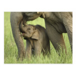 Elefante indio/asiático y jóvenes uno, Corbett 2 Postales