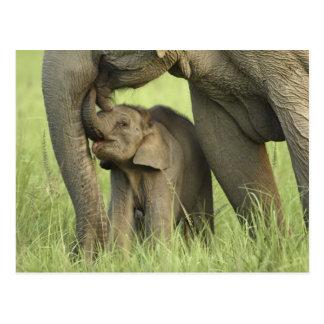 Elefante indio/asiático y jóvenes uno, Corbett 2 Postal