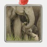 Elefante indio/asiático y jóvenes uno, Corbett 3 Ornamento Para Reyes Magos
