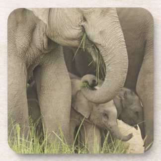 Elefante indio/asiático y jóvenes uno, Corbett 3 Posavasos De Bebidas