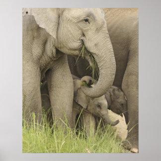 Elefante indio/asiático y jóvenes uno, Corbett 3 Póster