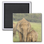 Elefante indio/asiático y jóvenes uno, Corbett Imán De Frigorífico