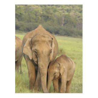 Elefante indio/asiático y jóvenes uno, Corbett Postal