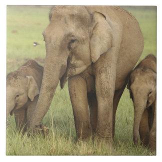Elefante indio/asiático y jóvenes unos, Corbett Azulejo Cuadrado Grande