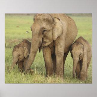 Elefante indio/asiático y jóvenes unos, Corbett Póster