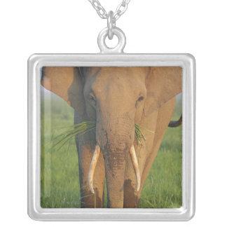 Elefante indio que alimenta, parque nacional de colgante cuadrado