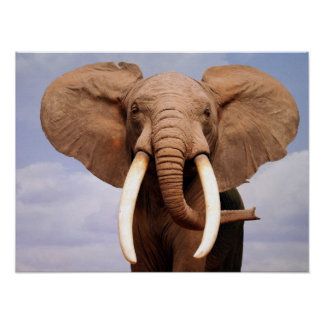 Elefante Póster