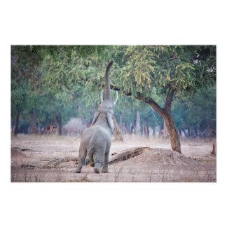 Elefante que alcanza para el árbol del acacia cojinete