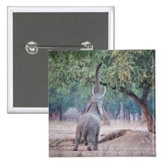 Elefante que alcanza para el árbol del acacia pin cuadrado