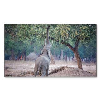 Elefante que alcanza para el árbol del acacia tarjetas de visita magnéticas (paquete de 25)
