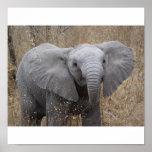 Elefante surafricano del bebé poster