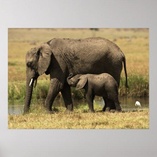 Elefantes africanos en la piscina de agua impresiones