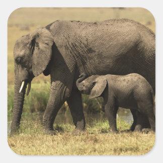 Elefantes africanos en la piscina de agua pegatina cuadrada