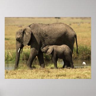 Elefantes africanos en la piscina de agua póster