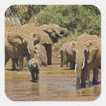 Elefantes africanos, Loxodonta Africana, Samburu Pegatinas Cuadradases Personalizadas