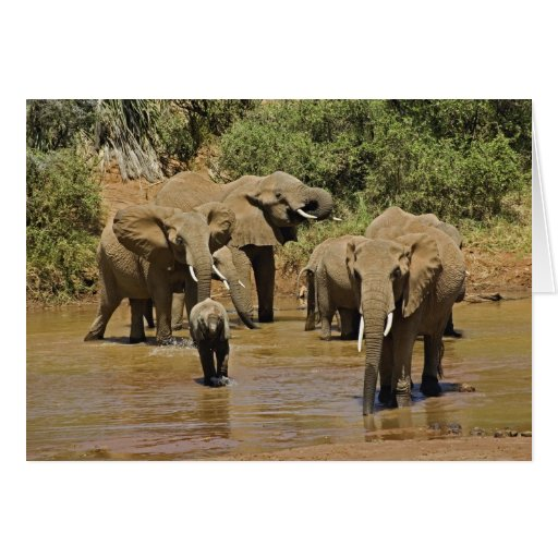 Elefantes africanos, Loxodonta Africana, Samburu Tarjetas