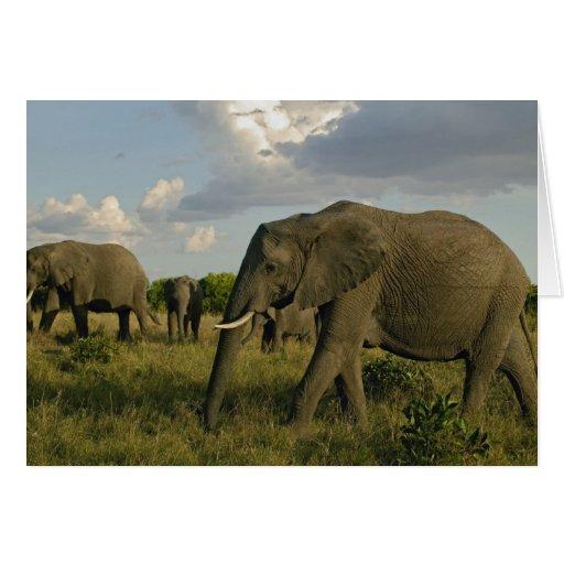 Elefantes africanos que pastan, africana del Loxod Felicitaciones
