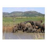 Elefantes africanos tarjetas postales