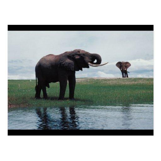 Elefantes distantes tarjeta postal