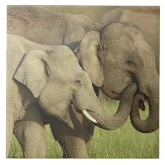 Elefantes indios/asiáticos que comparten a azulejo cuadrado grande