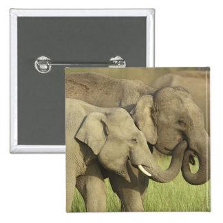 Elefantes indios asiáticos que comparten a pin