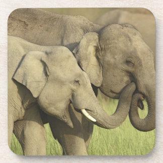 Elefantes indios/asiáticos que comparten a posavasos