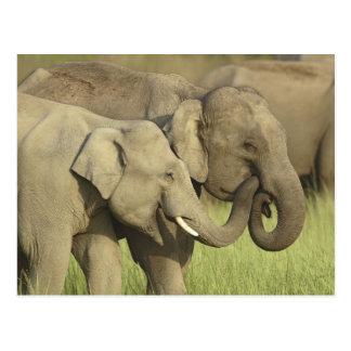 Elefantes indios/asiáticos que comparten a postales