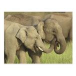 Elefantes indios/asiáticos que comparten a tarjetas postales