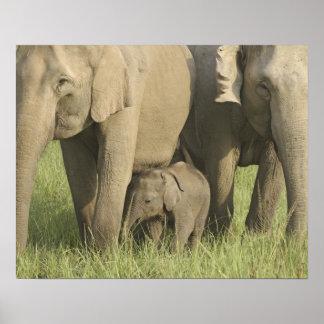 Elefantes indios/asiáticos y jóvenes uno, Corbett Póster