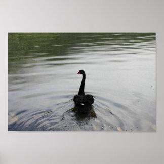 Elegant Black Swan Swimming in The Lake Poster