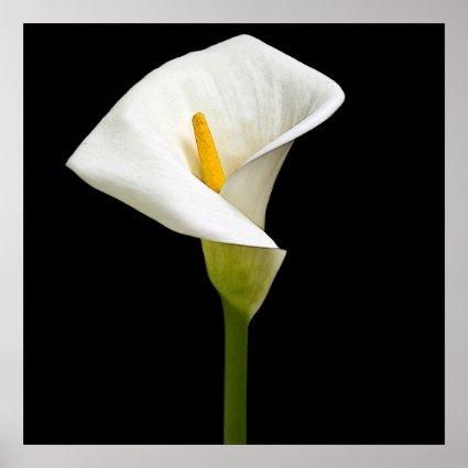 Elegant Cala Lily Print