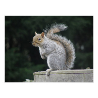 Elegant Gray Squirrel Poster