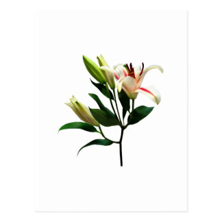 Elegant Lily and Buds Postcard