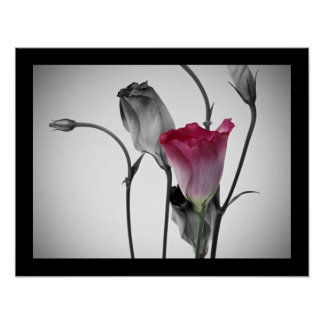 Elegant Pink Rose Poster