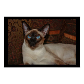 Elegant Siamese Cat Poster