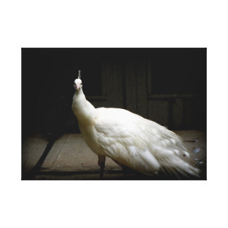 Elegant white peacock vintage nature bird photo canvas print