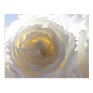 Elegant White Rose Postcard