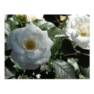 Elegant White Roses Postcard